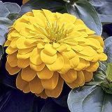 Zinnia Flower Garden Seeds - Magellan Series - Yellow - 100 Seeds - Annual Flower Gardening Seed