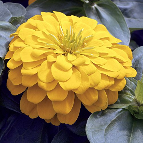 Zinnia Flower Garden Seeds - Magellan Series - Yellow - 100 Seeds - Annual Flower Gardening Seed by Mountain Valley Seed Company
