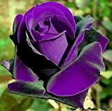 Bonsai roses. 200PC Germany rare purple dragon rose seeds. Flowering plants