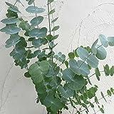 ユーカリ:銀丸葉(シネレア)6号ポット[ギンマルバ 白銀色の葉にさわやかな香り 切り枝にも人気!]