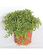 Orégano (Maceta 13 cm Ø) - Planta viva - Planta aromatica