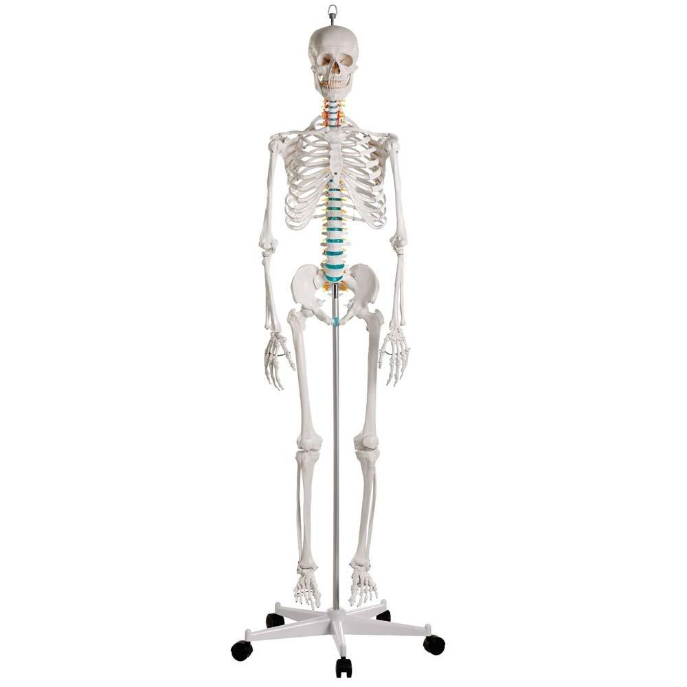 Ganzkörper Skelett männlich, Anatomie Lehrmodell beweglich ...