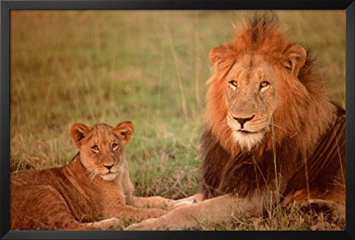 Professionally Framed Lion and Cub Photo Art Print Poster -