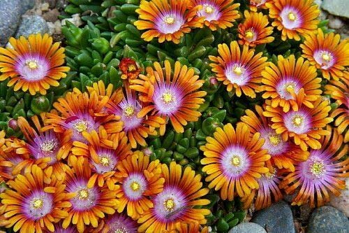 Fire Spinner Ice Plant - Perennial - Delosperma - Live Plant - Quart Pot
