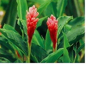 Amazon hawaiian pink ginger roots flowering plants garden hawaiian pink ginger roots mightylinksfo