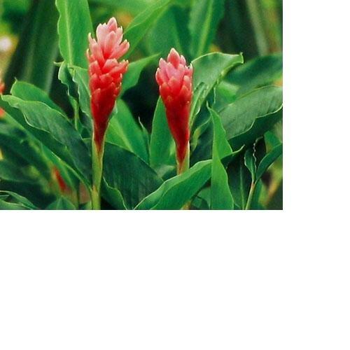 Hawaiian Pink Ginger Roots