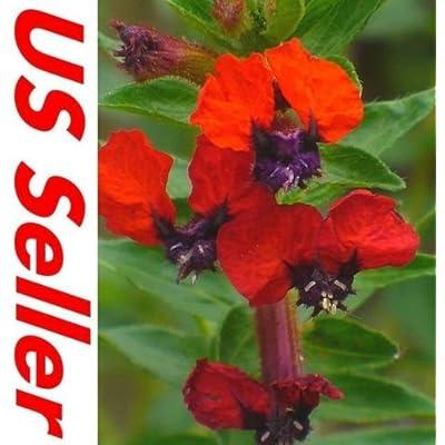 15 PCS CUPHEA SCARLET RED SEEDS G37, CIGAR PLANT Flowers Perennial : Garden & Outdoor