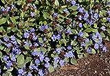 Rooted Ceratostigma Plumbaginoides Hardy Plumbago Starter Plant Get 1#DW01YN