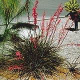 Red Yucca Hesperaloe parviflora plant 1 fan