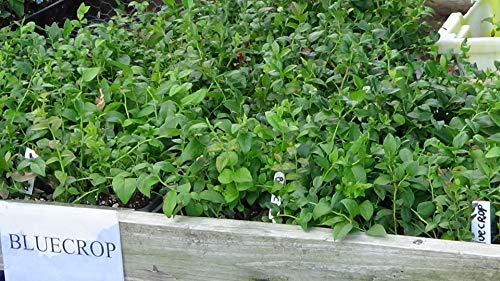 100 Blueberry Bush Plants Mixed Varieties Suitable for Your Climate Zone-State Inspected by Bon Bon's Blueberries (Image #1)