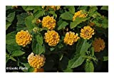 Lantana camara - Lantana - 100 seeds