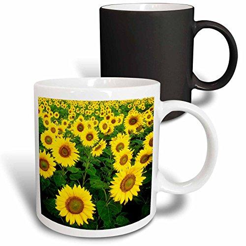 3dRose 218239_3 Sunflower Field Yellow Flowers Popular Image Mug, 11 oz,