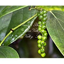 Piper Nigrum Peppercorn 15 seeds Grow your Own Black Pepper Spice Trellis or Baskets Peppercorns can be sun dried and ground as pepper