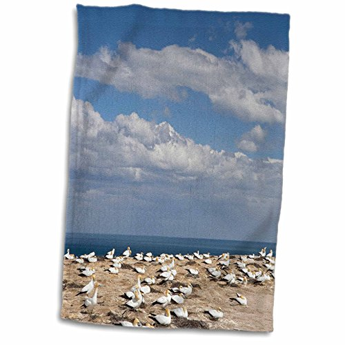 Zealand Hawkes Bay New (3D Rose Australasian Gannet Tropical Bird-Hawkes Bay New Zealand-Au02 Dwa6359-David Wall Hand/Sports Towel, 15 x 22)