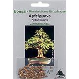 Bonsai - 100 Samen von Apfelguave, Psidium guajava, 90073