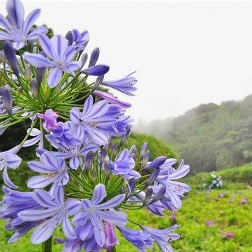 Souked De alta calidad de la semilla 5PCS Purple Clivia Agapanthus Africanus Semillas