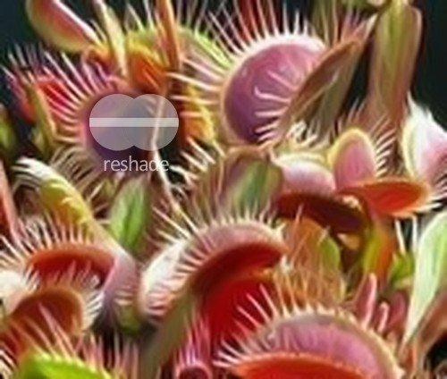 Exotic Plants Dionaea muscipula Red Burgundy - venus fly trap - 5 seeds
