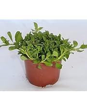 Poleo menta (Maceta 10,5 cm Ø) - Planta viva - Planta aromatica
