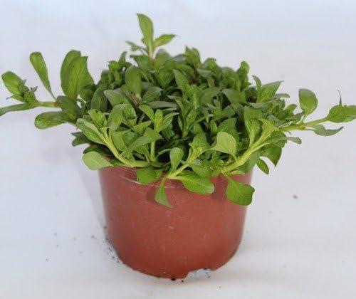 Poleo Menta Maceta 10 5 Cm ø Planta Viva Planta Aromatica Amazon Es Jardín