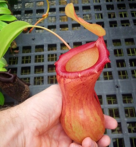 Carnivorous Tropical Pitcher Plant - Nepenthes Ventricosa - 3