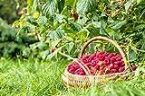 Organic Raspberry Powder, 8 Pounds