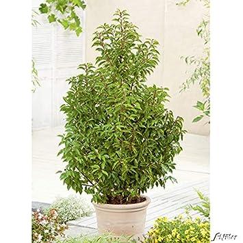 Portugiesischer Kirschlorbeer Angustifolia Hecken Pflanze 40 60 Cm