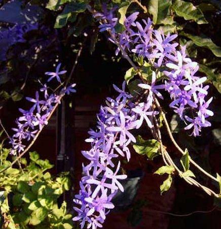 Live Plant Petrea Volublis Florida Wisteria Purple Flowering Vine ()