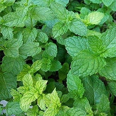Academyus Mint Seeds 45Pcs Peppermint Mint Seeds Garden Herb Plants Home Courtyard Balcony Bonsai Plant Seeds for Garden : Garden & Outdoor