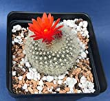 parodia haselbergii in a 4†Pot, Seed Grown Cactus Plant