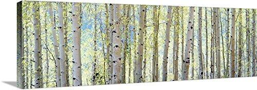 Green Aspen Trees - Shelley Lake Premium Thick-Wrap Canvas Wall Art Print entitled Aspen 60