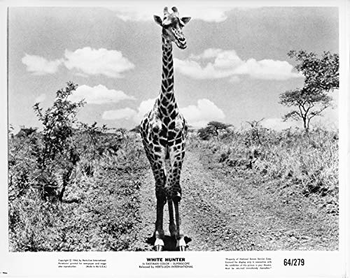 White Hunter original 1964 8x10 photo giraffe in bush