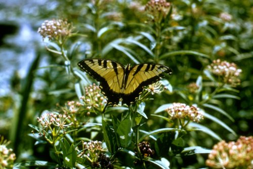 Swallowtail Butterfly Pictures - Tiger Swallowtail Butterfly Photo Insects Wildlife Photos 8x12