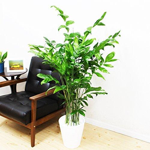 高性チャメドレア 観葉植物 ホワイトセラアート鉢 ヤシの木 日陰や寒さに強い やしの木 インテリア B01HMGRXI6