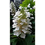 (2 gallon) Oakleaf HYDRANGEA, Gorgoeus Native Plant,Huge Oak Like Leaf, Grand White Panicles-