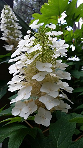 (2 Gallon) Oakleaf Hydrangea, Gorgeous Native Plant,Huge Oak Like Leaf, Grand White Panicles-