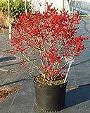 Red Sprite Winterberry, 3 GAL