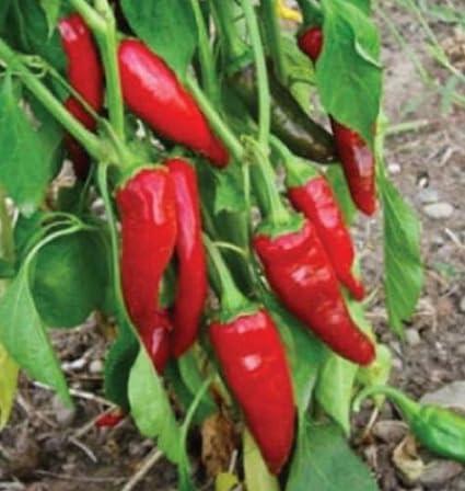 Amazon com : Guajillo Chile Pepper Seeds, Capsicum annuum, Mirasol