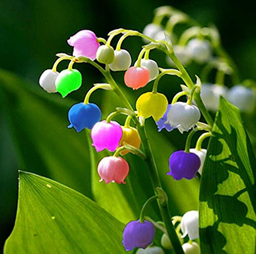 Expert choice for lilies of the valley seeds