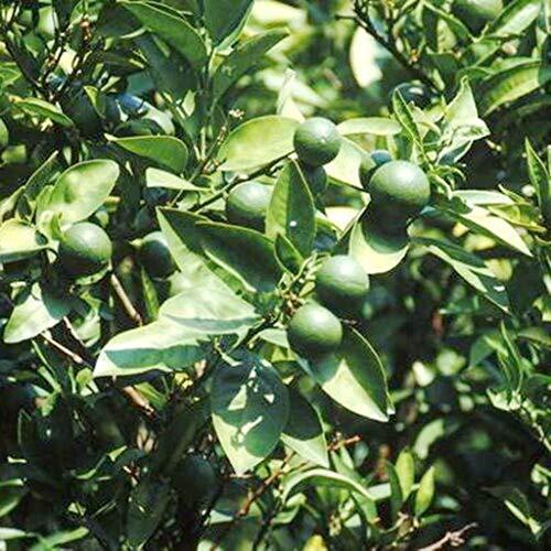 Dwarf Key Lime Citrus Tree Produces Full Size Fruit Dwarf Tree M4 by owzoneplant (Image #1)