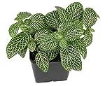 Fittonia albivenis 'Mini White' - Nerve Plant