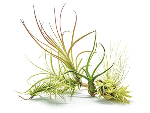 6 Air Plant Variety Kit - Large Tillandsia Terrarium Pack - Assorted Species of Live Air Plants for Sale, 4 to 10 Inches Each - Indoor House Plants by Aquatic Arts (Garden Glass Flowers For Sale)