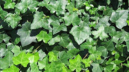 Thorndale Hardy English Ivy Groundcover - 300 Bare Root Plants by Thorndale Hardy English Ivy Groundcover (Image #2)