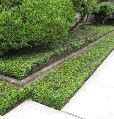 Classy Groundcovers - Periwinkle 'Traditional' Common/Creeping Periwinkle/Myrtle, Creeping Myrtle {50 Bare Root Plants} by Classy Groundcovers (Image #2)