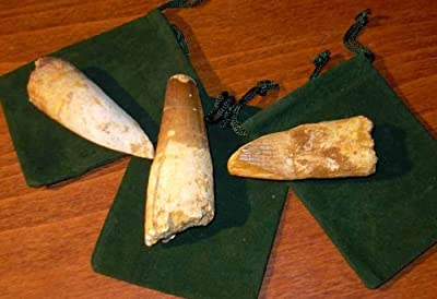 Dinosaur Tooth - 1 Genuine Spinosaurus Fossil Tooth - Extra Large! by Beverly Oaks