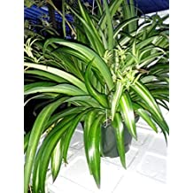 """Ocean Spider Plant - Easy to Grow - Cleans the Air - NEW - 8"""" Hanging Basket from Jmbamboo"""