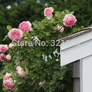 Hot Selling! 100 Pink Climbing Roses Seeds --semenatsvety perennial garden bonsai flower plant