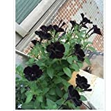 Rare Super Black Cat Petunia Flower Seeds100 Seeds / Pack New Annual Bonsai Petunia