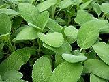 Berggarten Sage Live Herb Plant