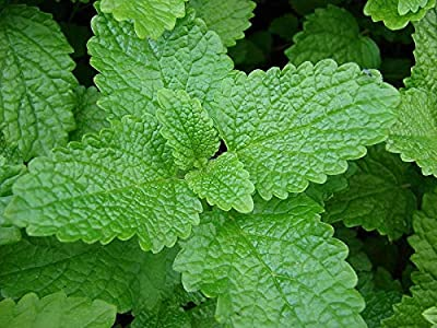 900 Fresh Lemon Balm Seeds Melissa officinalis Medicinal Herb Great for Bees Too