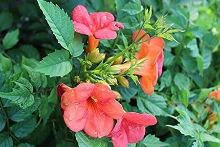 Trompetenblume Campsis tagliabuana Madame Galen Kletterpflanze 60-100cm im Topf gewachsen